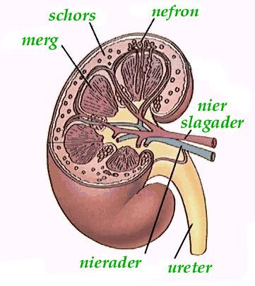 wat is een lymfeklier